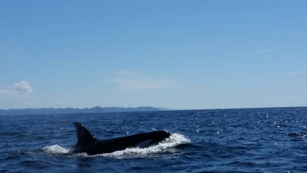 Fisherman Norman Strickland says five or six orcas surrounded his boat Saturday morning.
