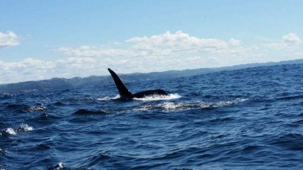 orca surrounding the boat