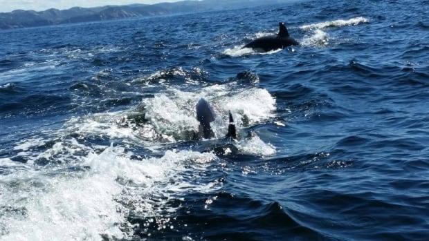Several orcas