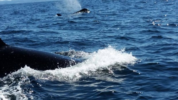 orcas spraying water