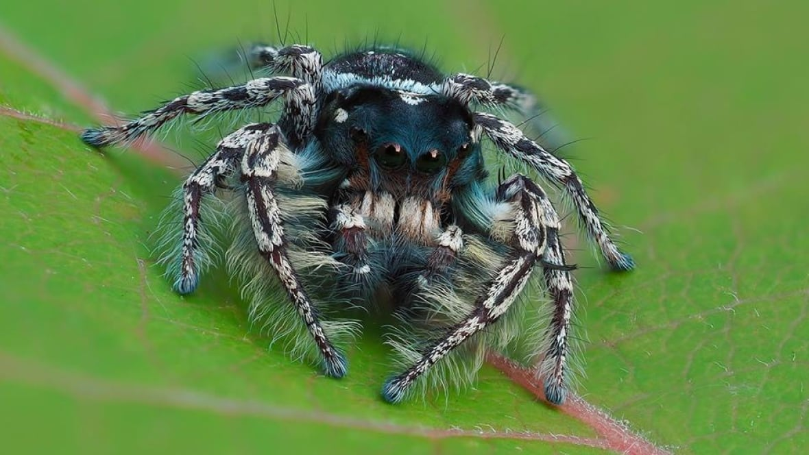 species of jumping spider believed to be new to canada windsor cbc news