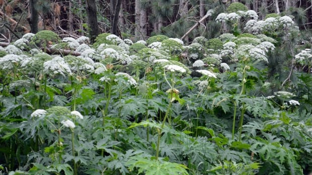 Giant hogweed is one of the many common plants found in Nova Scotia that are harmful to humans.