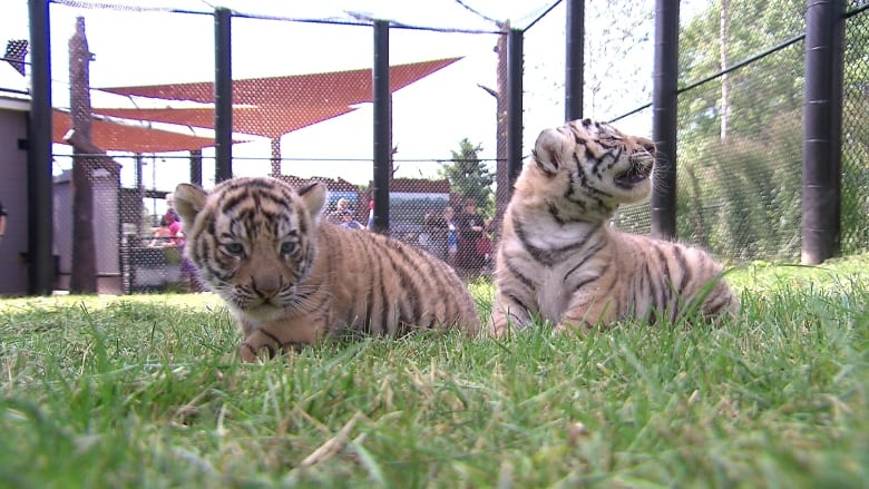 magnetic hill zoo could be bouncing with 2nd batch of baby tigers