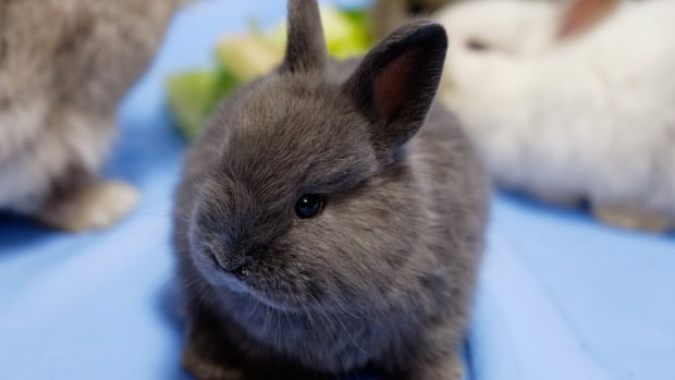 Toronto Animal Services says they received hundreds of applications from wannabe rabbit and cat snugglers to help socialize the animals for adoption.