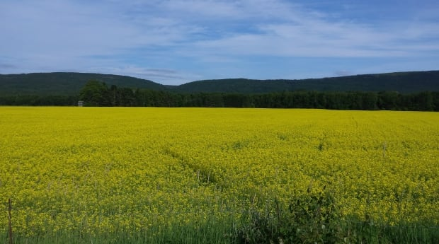Canola field in Pasadena