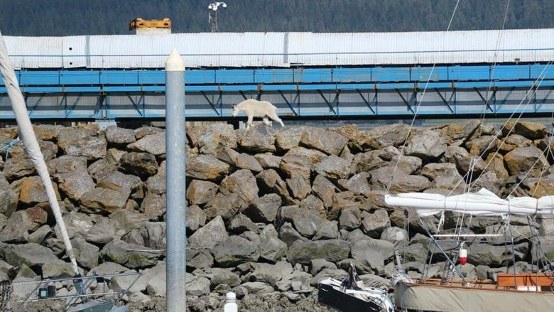 Goat Harassment Drowning