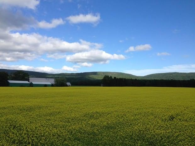 Canola field near Pasadena