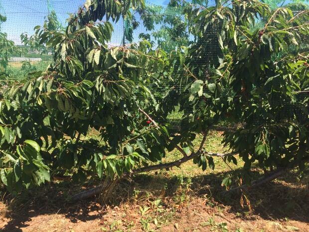 Perpendicular cherry trees