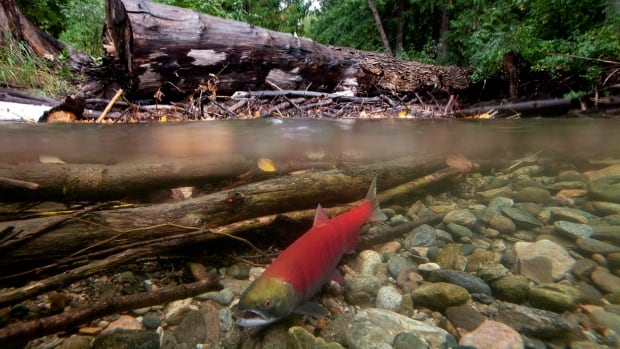Sockeye salmon are returning to the Fraser River in record low numbers according to Fisheries and Oceans Canada.