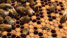 bees honey hive university of regina apiary