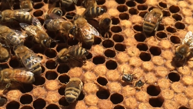 Island beekeepers are keeping a watchful eye on their colonies as small hive beetle infestations pop up in the Maritimes.