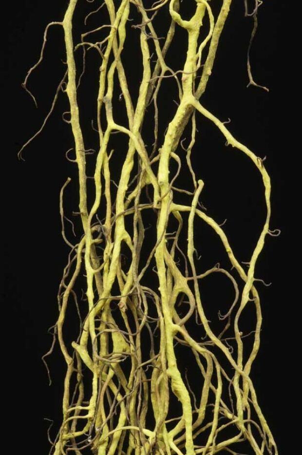 Tortured horsehair lichen