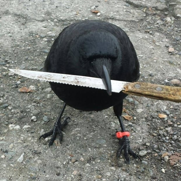 Canuck the Crow with Knife