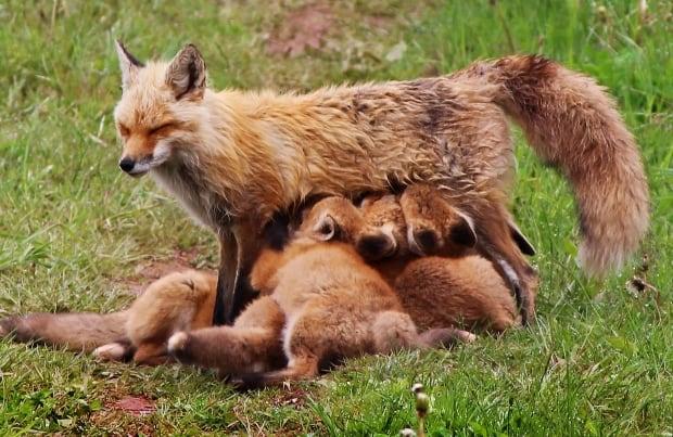 mother fox nursing babies