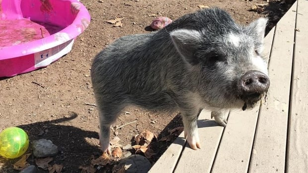 A neighbour has complained about noise from Layla the pig and now Vernon city officials have told her owner, Coralee Carrier, that she can no longer keep the pig in the city.