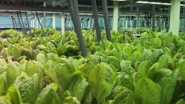 Harvest Urban Farms in Vancouver grow their produce through the use of aeroponics,  a process in which plants are grown in an environment of air or mist — from which the plants receive nutrients.