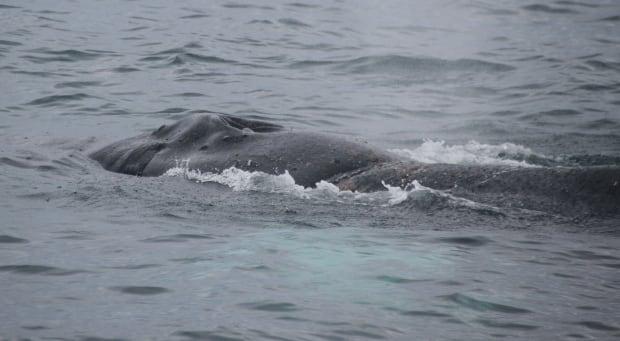 Foggy humpback whale 2