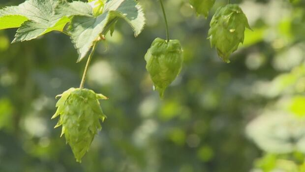 Nic Southan started hop farming in 2012. He now has about 25 buyers.