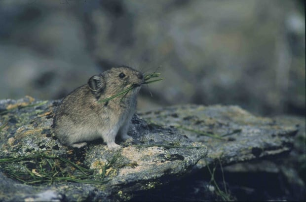Pika with sedges