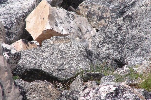 pika among boulders
