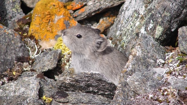The collared pika (pronounced peeka), a small relative of the rabbit, is a survivor from the ice age. It now lives only on nunataks — rocky areas surrounded by glacial ice.