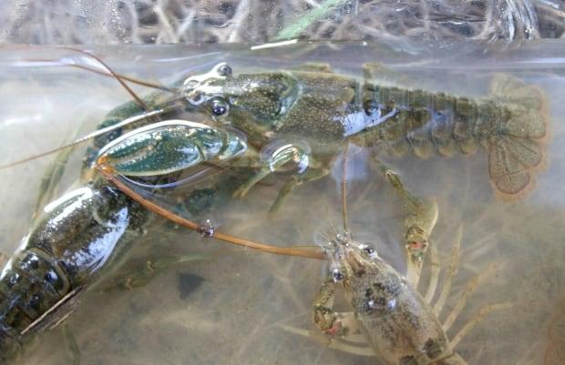 Crayfish Calgary