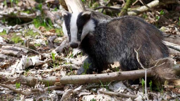 Liana Zanette, a researcher at Western University studied the habits of badgers as they heard the sounds of predators, including CBC Radio One programming.