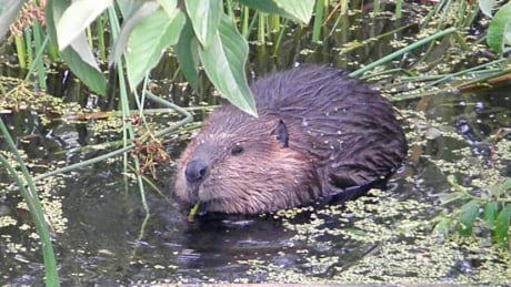 To trap or not to trap? Langley Township wrestles with beaver problems