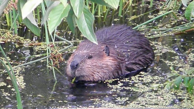 The Township of Langley is considering how to more humanely deal with nuisance beavers.