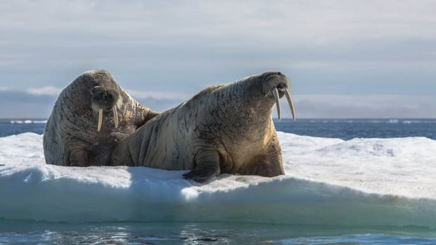 Walrus during a hunt in Nunavut. Officials in the U.S. are warning people about the effects of undercooked game meat after two outbreaks of trichinosis over the last year in western Alaska.