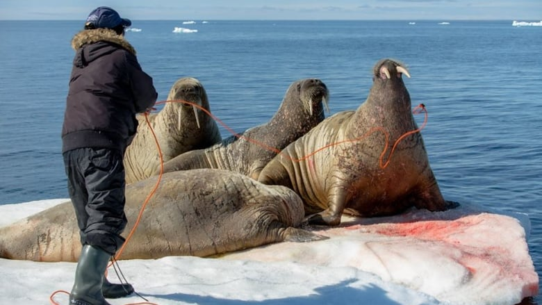 parasite found in walrus meat in sanikiluaq warns health department