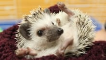 Hedgehog seized by Guelph Humane Society