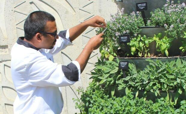 Nair harvesting herbs