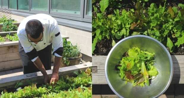 Krish harvesting lettuce