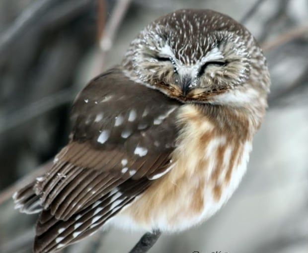 Saw whet owl by Donna Martin
