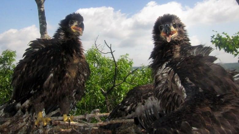 Us Canada Bald Eagle Program Hailed A Success As Population