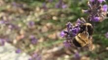 Yellow banded bumble bee
