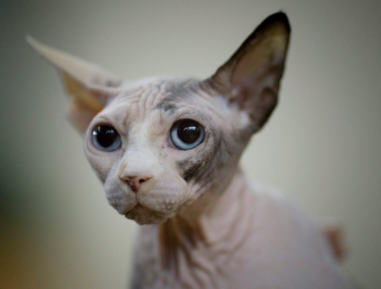 Hairless Cat Ugliest - Best Cat Wallpaper