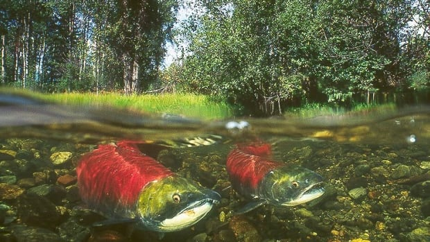 The Horsefly River Salmon Festival says it's been cancelled because of a lack of Fraser River sockeye.