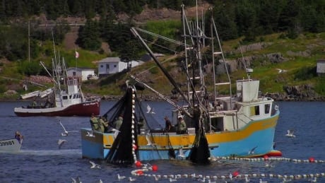 Capelin fishing in Leading Tickles