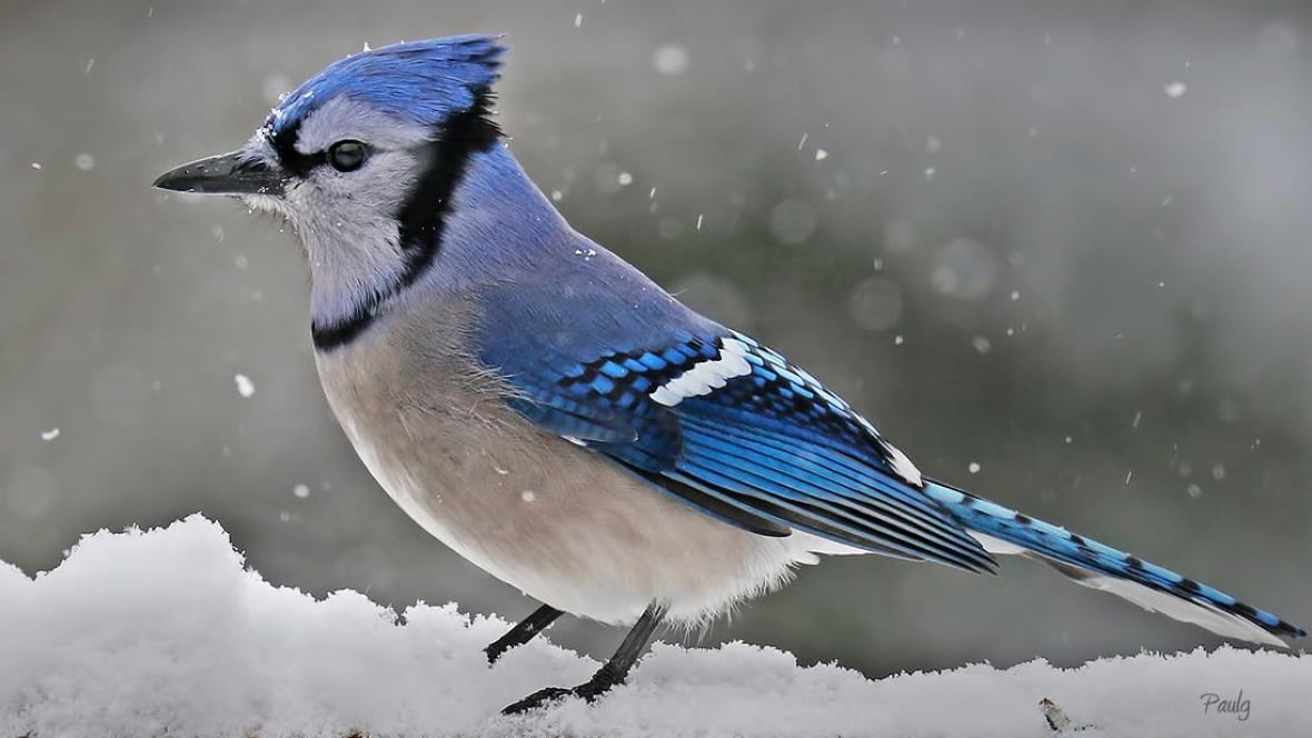 9 Things To Know About Blue Jays Peis Provincial Bird Cbc News