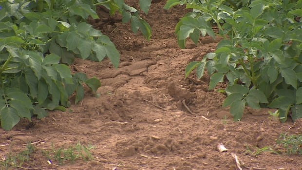 The general manager of the P.E.I. Potato Board says the Island hasn't received nearly enough rain.