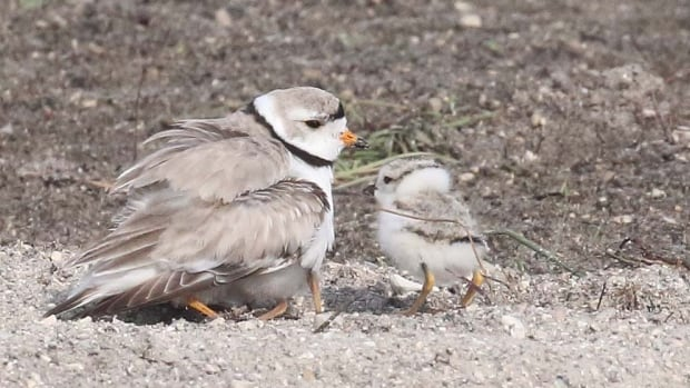 Piping plovers have nested in Manitoba again - but the province won't say where.