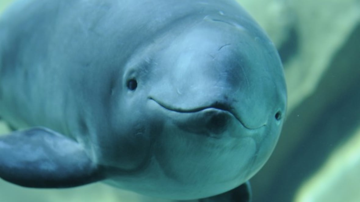 Harbor porpoise - photo#21
