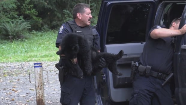 Conservation officers tranquilized this black bear cub on Saturday, August 13, 2016 after its mother attacked a 10-year-old girl. The cub will go to a rehabilitation centre and be released into the wild in 2017.