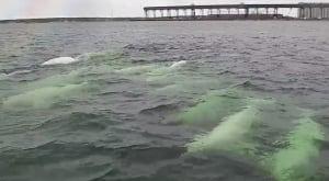 Beluga cam