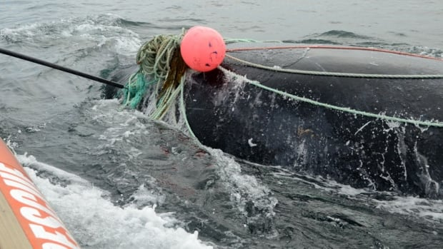 New Brunswick man killed by whale he rescued