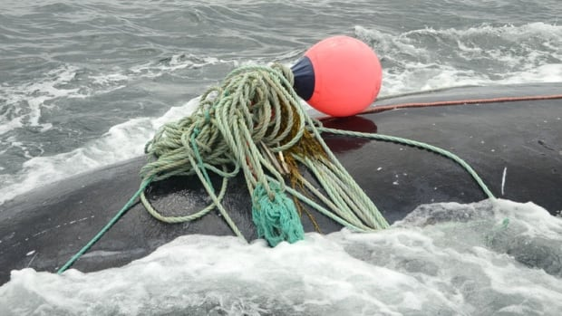 A North Atlantic right whale was freed from fishing lines in the Bay of Fundy near Campobello Island in 2016.