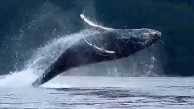 Heather Lawrence captured on video a small pod of humpback whales breaching near a group of kayakers in B.C.