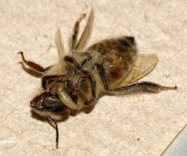 Phorid fly maggot